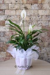 Spatifilyum Bitkisi   Gönderdiğiniz her ortamda sizi en güzel şekilde temsil edecek spati bitkisi ev, ofis, işyeri gibi yerlerde bakılabilir.  Yaklaşık Ürün Boyutu : 60 cm