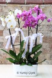 Sevginizi göstermenin en güzel yolu 2 adet çiftli mor ve beyaz orkide dizaynını göndermek olacaktır. Yaklaşık Ürün Boyutu : 65 cm