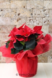 Ponsetia Atatürk Çiçeğininin Muhteşem Görseli ile Sevdiklerinize Güzel ve Anlamlı Bir Sürpriz Yapabilirsiniz. Yaklaşık Ürün Boyutu : 60 cm
