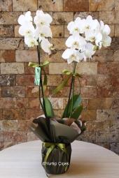 Şık Ambalajlı Saksı Orkide    Sevdiklerinize yapacağınız sürprizlerin en güzeli onlara çiçek göndermektir. Çiçeklerden ise en güzeli beyaz orkide ona yakışır.